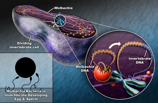 thesis on wolbachia The aim of my thesis is to better understand the nature of the wolbachia -bedbug symbiosis and the mechanisms by which wolbachia achieve effects in their host in order to determine whether such biocontrol strategies are.