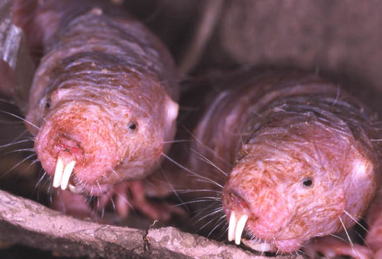Naked Mole Rats Cancer-Free | Leaders in Pharmaceutical