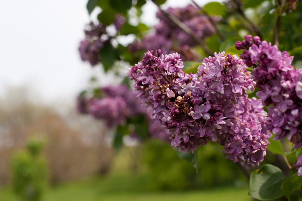The Lilac Festival in May marks the unoffical start to Rochester's festival season.