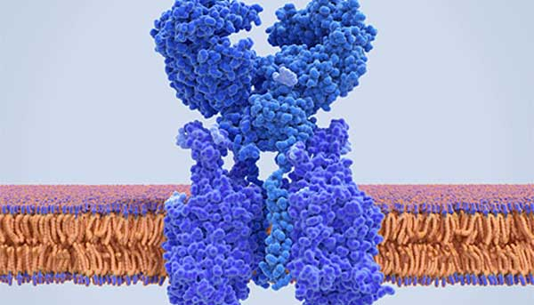 Once the COVID-19 virus enters the body, it binds to cells via an enzyme receptor called Angiotensin-converting enzyme 2 (ACE2), pictured here in an artist's rendering. University of Rochester biologists have received NSF grants to study ACE2 and other proteins and enzymes involved in COVID-19 infections.