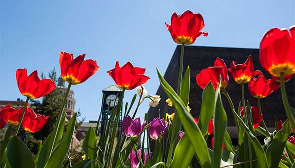 flowers in the foreground with rush rhees tower and clock tower in background
