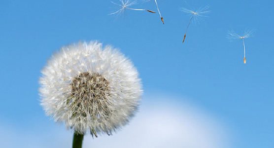 Dandelion with a blue sky behind it