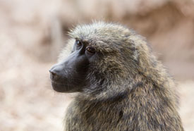 J. Adam Fenster, University of Rochester Zoo Baboons Help Brain Research Pearl is one of the members of the Seneca Park Zoo baboon troop involved in University of Rochester research led by cognitive scientist Jessica Cantlon.