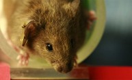 New mouse model may shed light on repetitive brain injuries