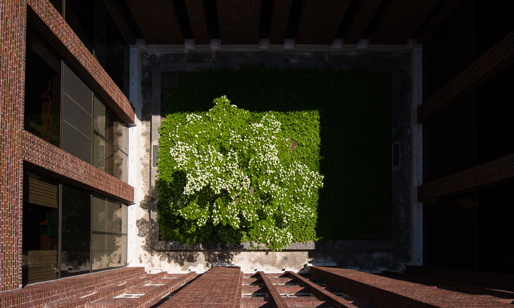 Looking down from the top of  a building down onto a blooming dogwood tree in a courtyard.