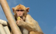 Monkeys also believe in winning streaks, study shows