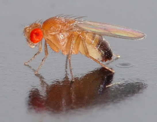 small male Drosophila melanogaster fly