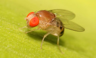 When temperatures drop, newly-discovered process helps fruit flies cope