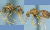 Alternate mechanism of species formation picks up support,  thanks to a South American ant