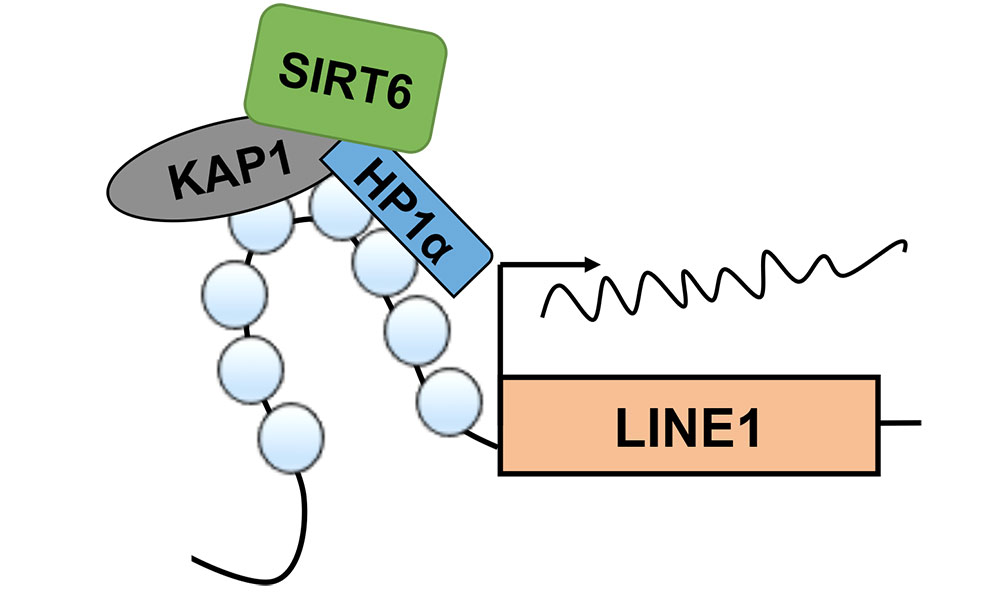 diagram of SIRT6 protein