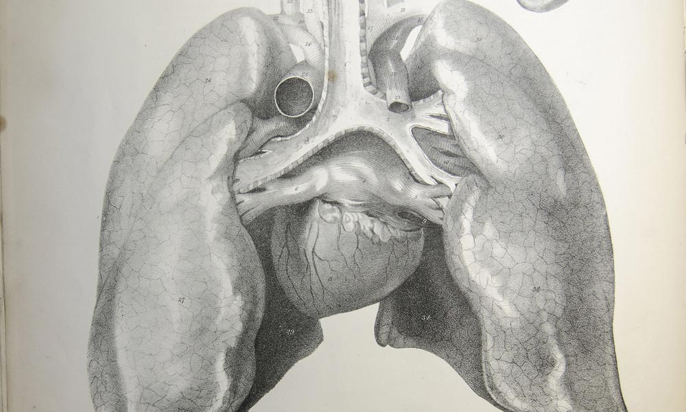 19th century drawing of human lungs