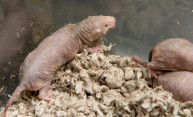 An extra protein gives naked mole rats more power to stop cancer