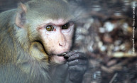 Curious monkeys share our thirst for knowledge
