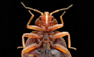 Scientists map genome of common bed bug