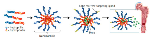 This illustration from the Benoit lab shows how it forms nanoparticle drug delivery vehicles. Polymers containing both hydrophilic (water attracting) and hydrophobic (water repelling) portions are synthesized. When the polymers are introduced to a water-based solvent, the particles form nanometer-sized micelles (nanoparticles). Drugs are loaded into the micelles, and targeting moieties selected to target bone marrow are conjugated to the outside, to provide preferential drug delivery to marrow-resident stem cells.
