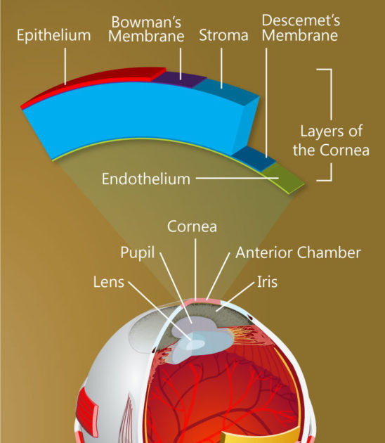 The structure of the cornea. (Keratomania.com eye diagram by Chabacano,via Wikimedia Commons.)