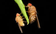 Fruit flies offer gut check on bacteria