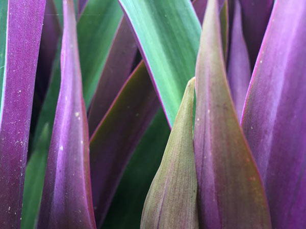 closeup of purple and green leaves