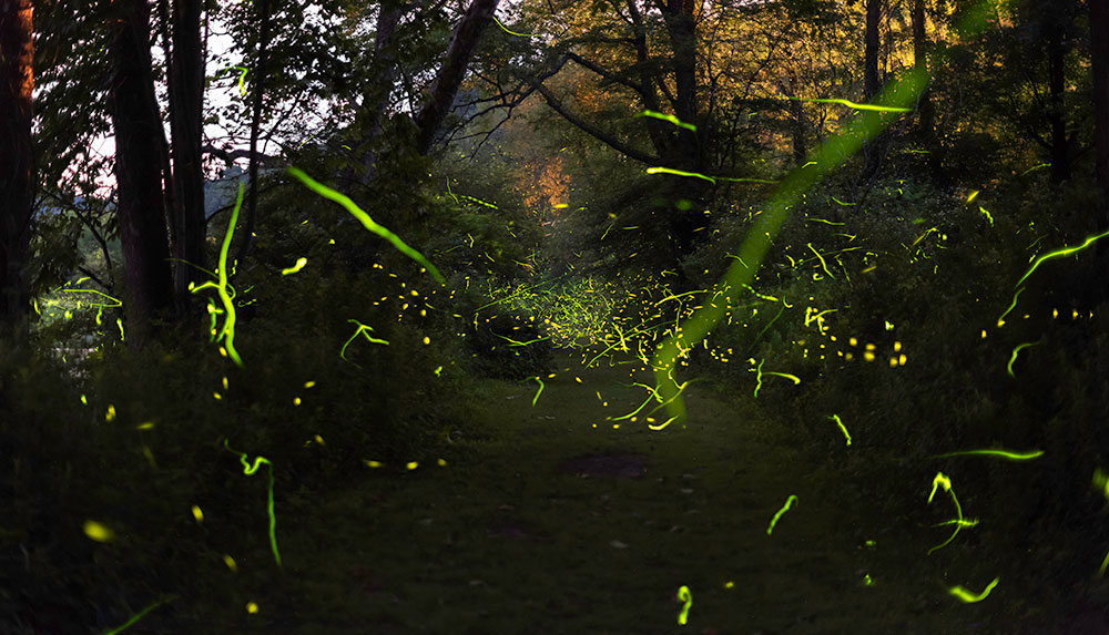 streaks of light made from fireflies at night in the woods