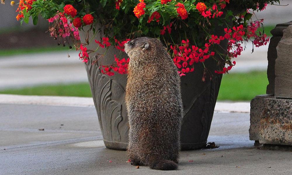 groundhog eating flowers