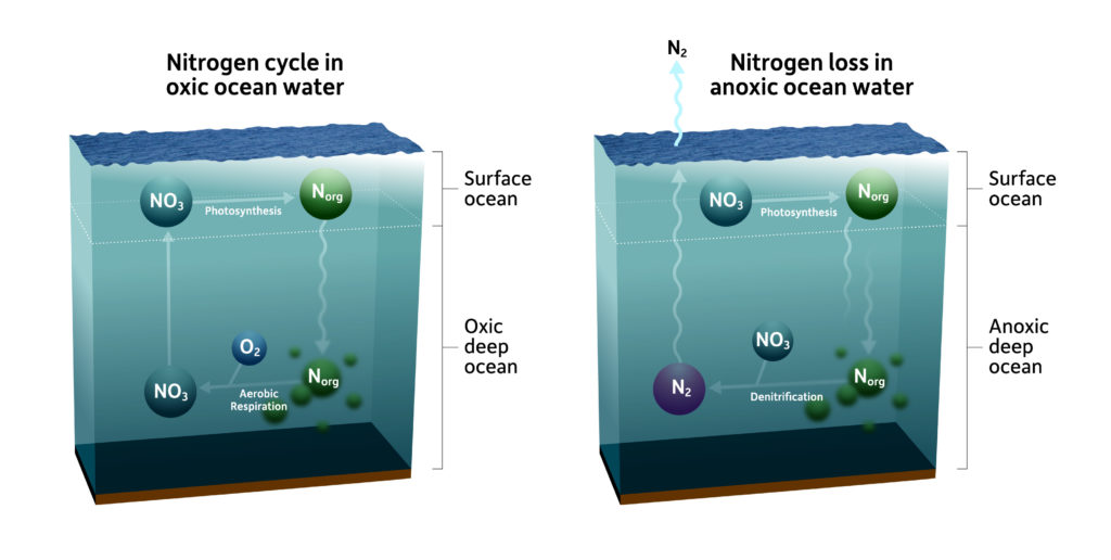 two side-by-side illustrations of the nitrogen cycle in oxic ocean water and in anoxic ocean water