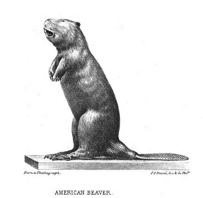 scientific illustration labeled American Beaver