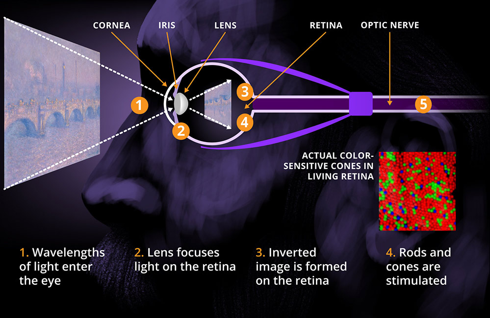 illustration shows the face of Claude Monet looking at a painting. The parts of the eye are labeled one through four. 1: Wavelengths of light enter the eye. 2: Lense focuses light on the retina. 3: Inverted image is formed on the retina. 4: Rods and cones are stimulated.