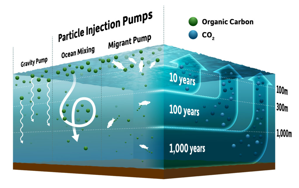 diagram shows the different types of ocean pumps. The Gravity Pump shows particles sinking naturally, and two Particle Injection Pumps -- ocean mixing and migrant pump -- show winds, currents, and fish transporting organic carbon particles. Up arrows show that the deeper the particles go, the longer it takes for them to resurface, from 1,000 years for the deepest particles to 10 years for the ones closest to the surface.