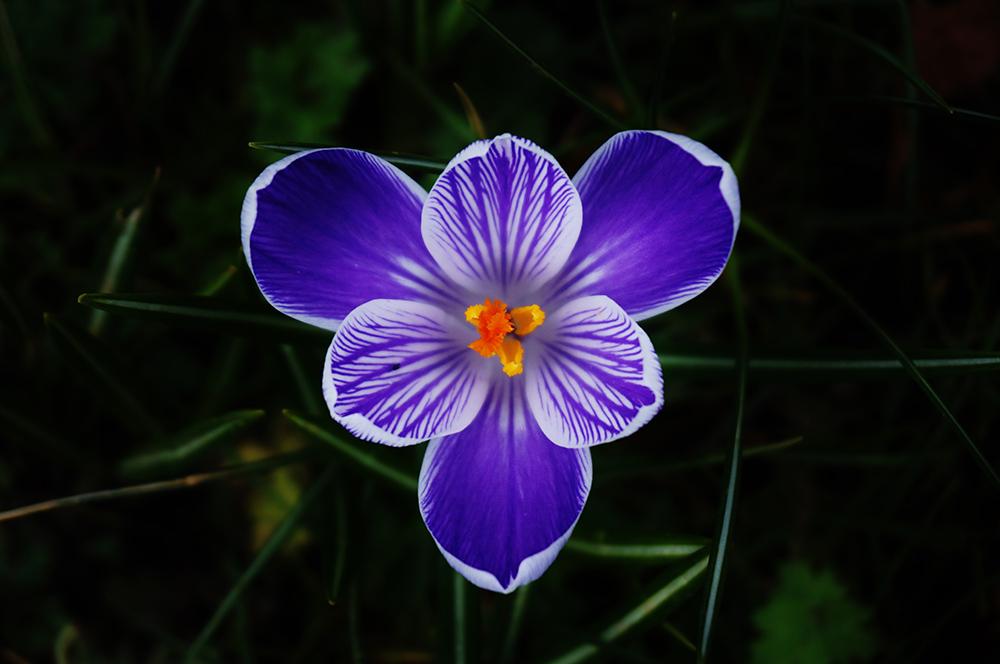photo of a crocus flower.