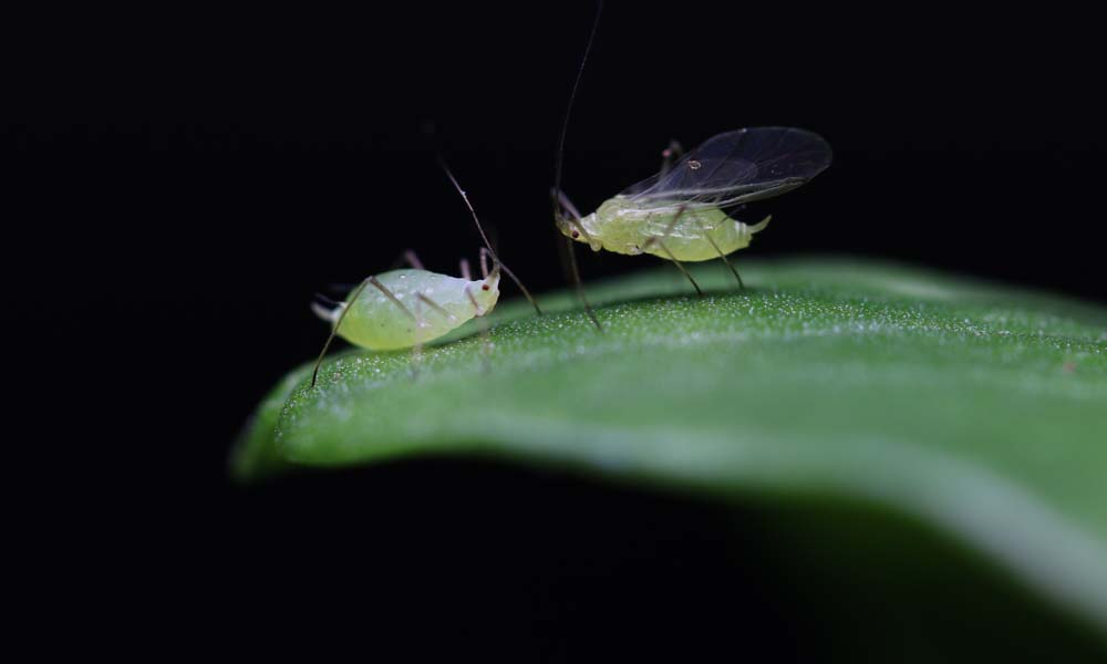 Two aphids (the left one wingless, the right one winged) face each other atop a leaf.