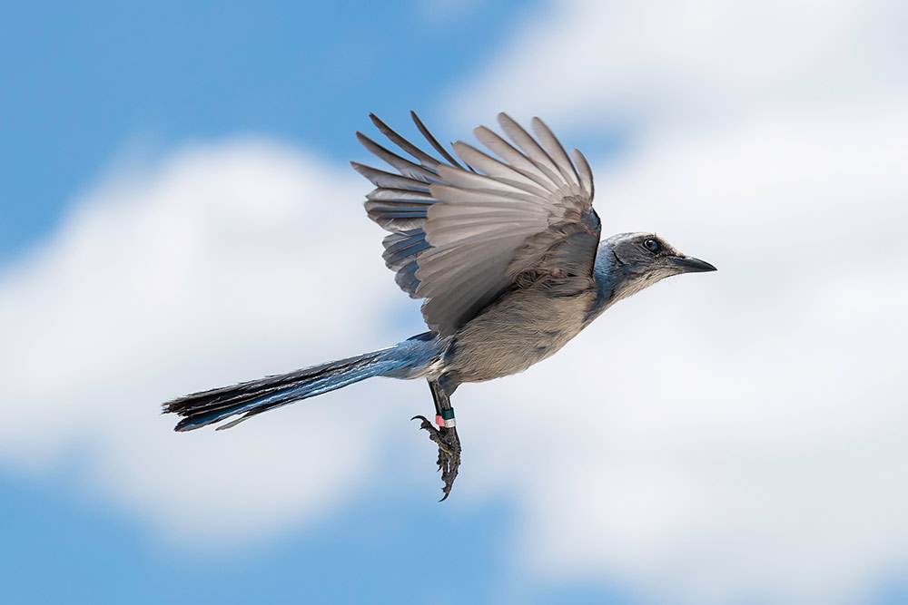 bird in flight, with a tag hanging from its foot.