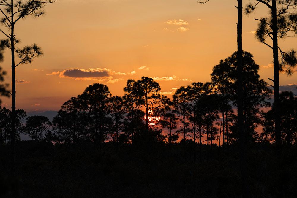 sun setting over pine trees.