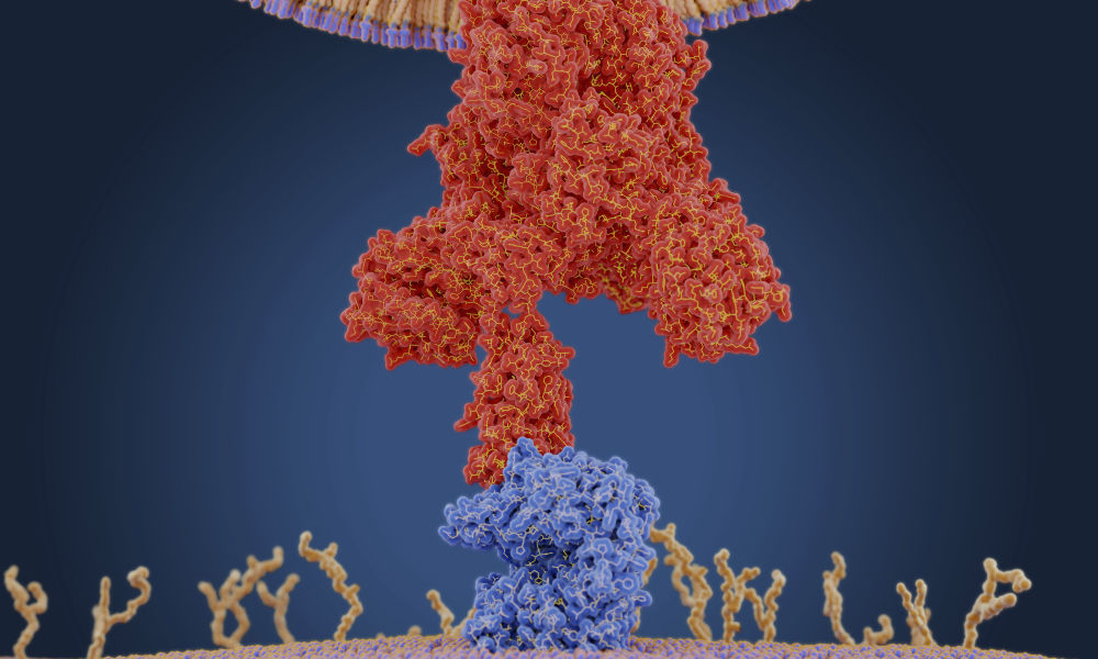Illustration of coronavirus protein binding to receptor on human cell.