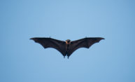 Bats offer clues to treating COVID-19