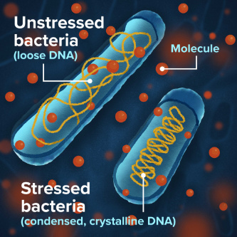 """Illustration of an """"unstressed"""" bacteria with loose DNA next to a """"stressed"""" bacteria with compact DNA."""