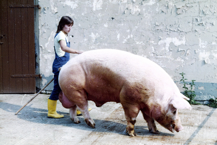 farmer walking beside large pig