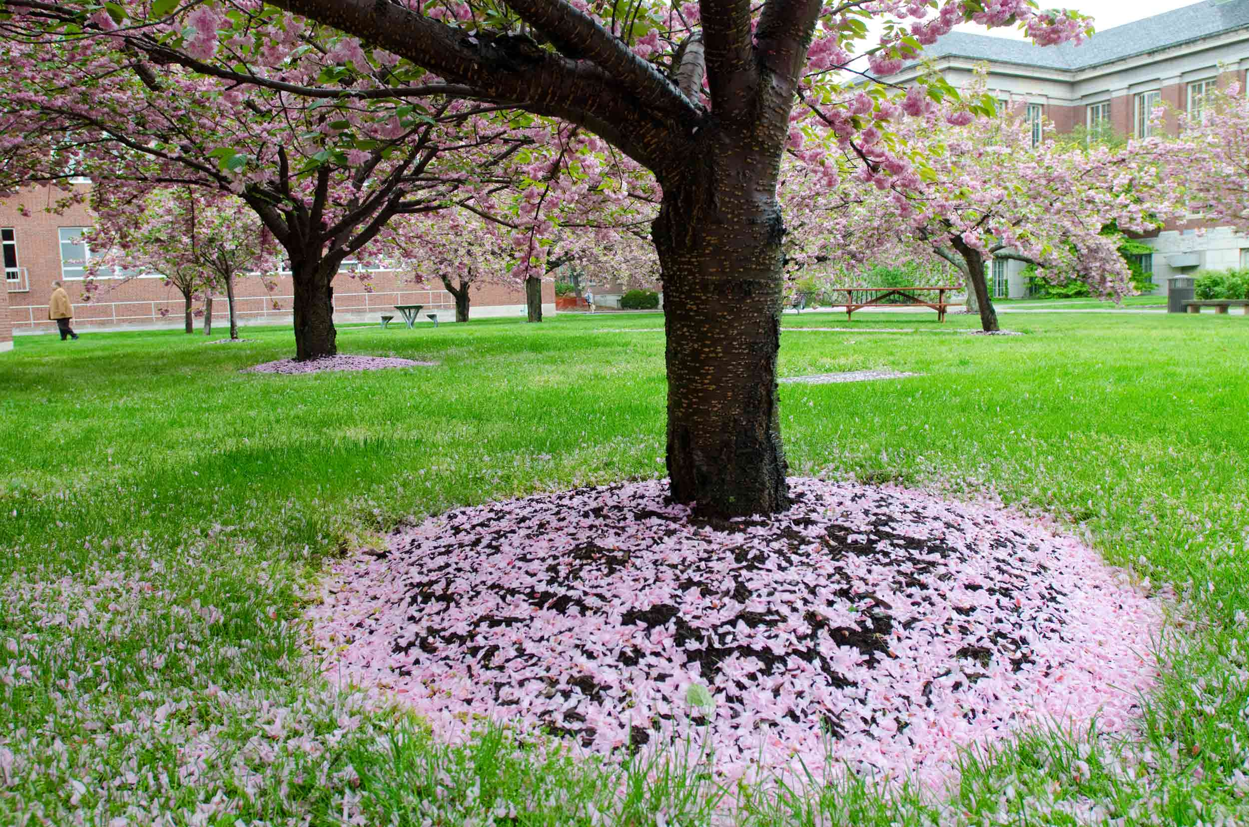 tree with pink flower petals at the base.