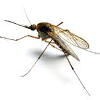mosquito-thumbnail